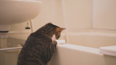 浴槽を覗く猫。