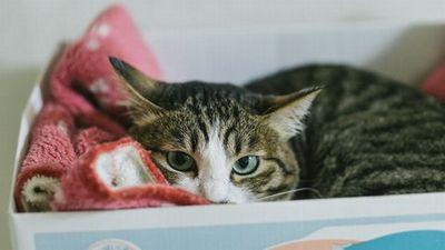 みかんの箱の中で毛布にくるまって眠る猫。