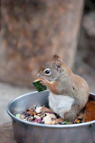 リスの食事。
