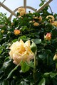 長居植物園のバラ。