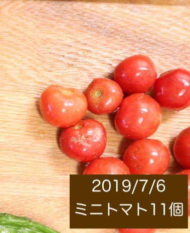 シェア畑の収穫量 ミニトマトの写真1