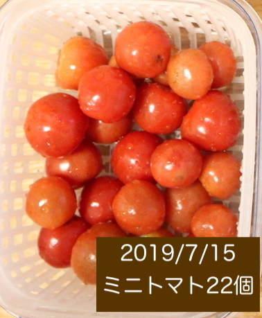 シェア畑の収穫量 ミニトマトの写真2