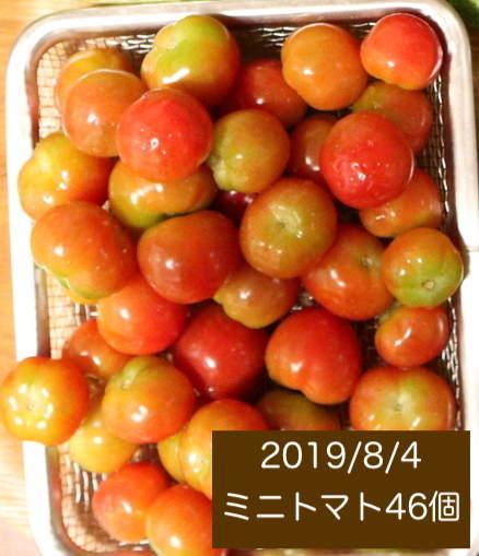 シェア畑の収穫量 ミニトマトの写真4