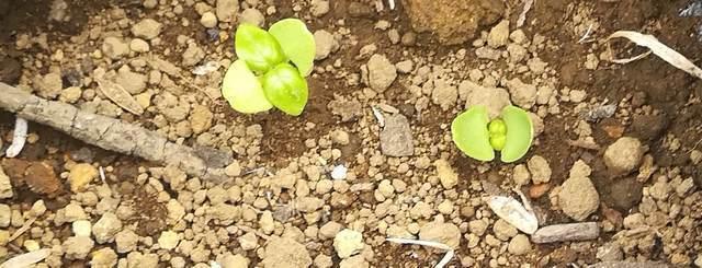 シェア畑は高いのか バジル発芽の写真