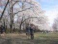 One thousand cherry blossoms in Akagi highland 2011/04/17