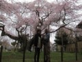 Old cherry tree @ Hannya-in temple, Ryugasaki 2013/03/24
