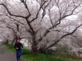Running along Sakura-gawa river @ Tsuchiura 2013/03/30