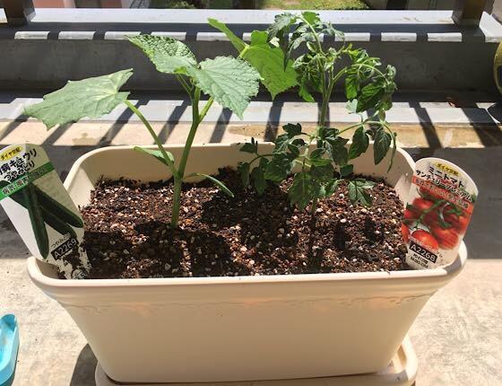 ベランダガーデニングのトマトとキュウリの苗