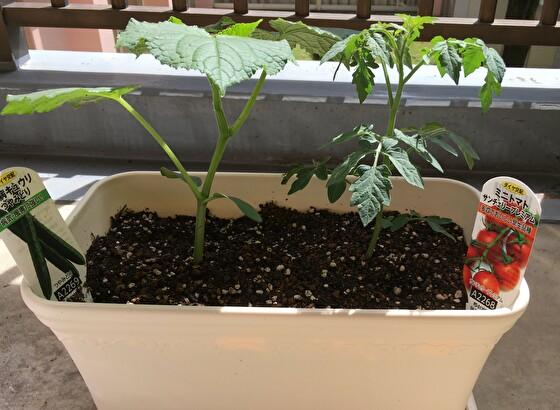ベランダガーデニングのミニトマトとキュウリ
