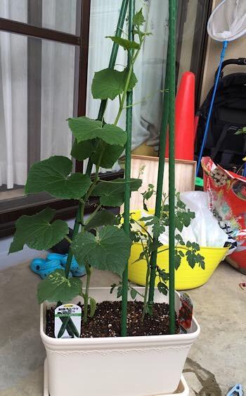 秋採れのミニトマトとキュウリ