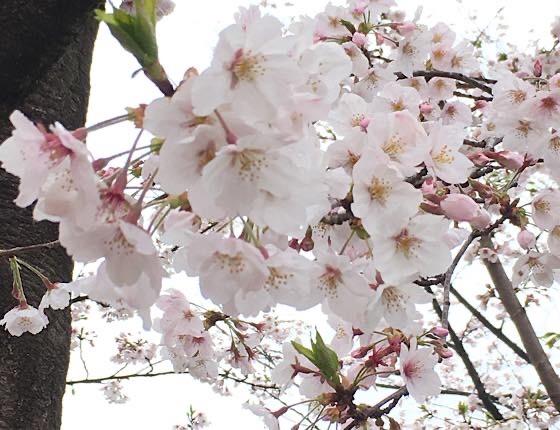 雨の日の公園遊びで桜満開