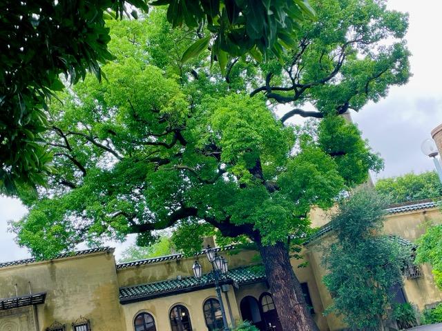 新緑が眩しい樹齢500年のオリーブの木