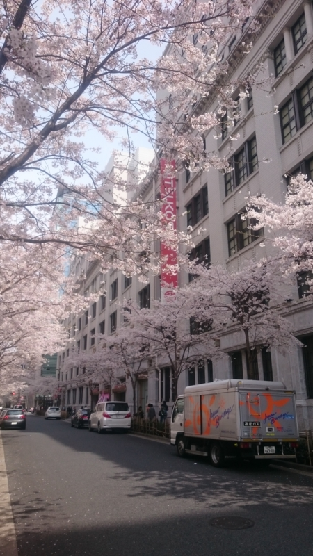 日本橋三越前の桜