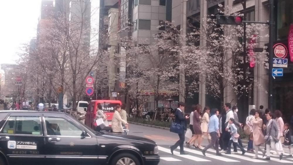 コレド室町前の桜