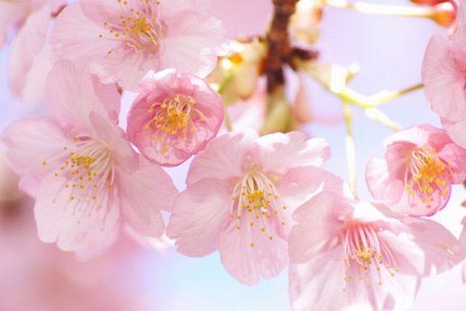 桜の花は、ハート形