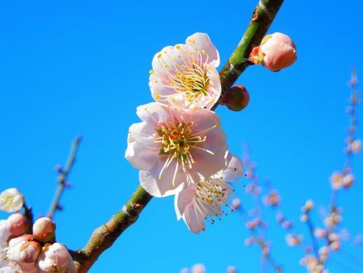 梅の花は丸い形