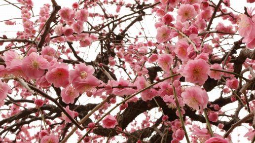 梅は、茶色い枝についているように咲きます