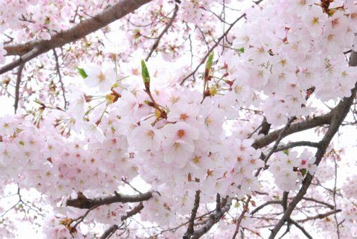 桜は、軸が長いので、下を向くように咲きます