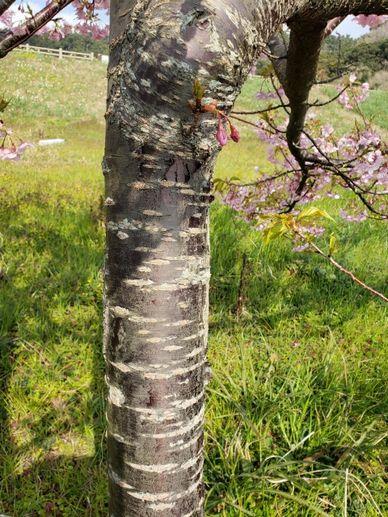 桜の木の表面は、横のシマ模様があります
