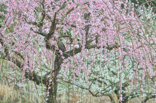 梅の花言葉は、「凛とした美しさ」を感じる