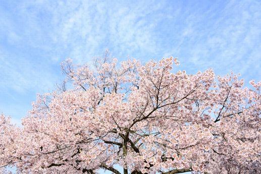 桜の花言葉は、「きれい」な言葉が多い