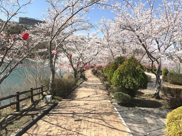 恵那峡の桜は、花のトンネルを通る少女の気分になれます
