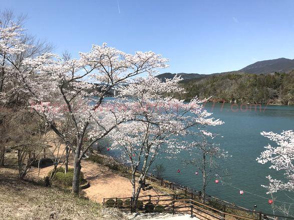 上から見た桜と恵那峡が融合した景色