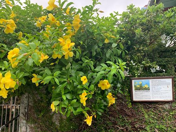 黄色いお花のオオバナアリアケカズラ