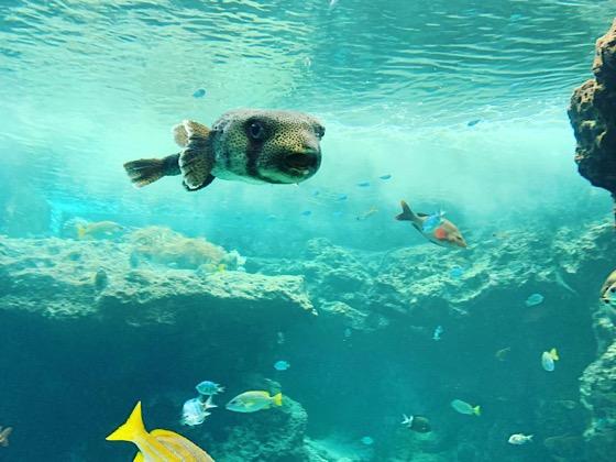 美ら海水族館内の水槽で泳ぐふぐたち