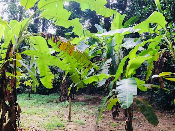 フクギ並木内の木々