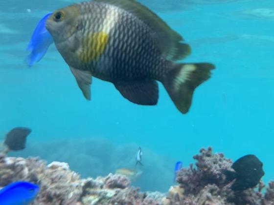 備瀬崎の海中の大きな魚たち