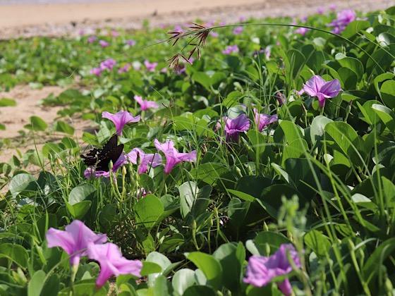 ペンションパパラギ王国プライベートビーチ花の蜜を吸う蝶々