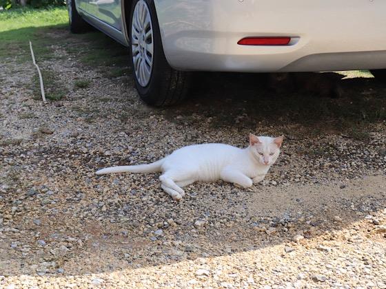 車の下にいる猫