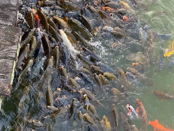 岡山県大芦高原大芦池に住む大量の鯉たち