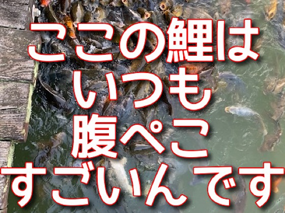 岡山県大芦高原大芦池の鯉の集団