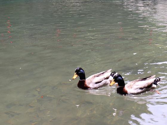 高千穂峡の水面を泳ぐカモ