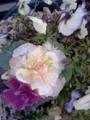[ガーデニング] 薔薇みたい