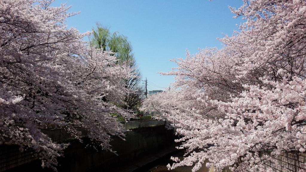 練馬高野台 石神井川の桜
