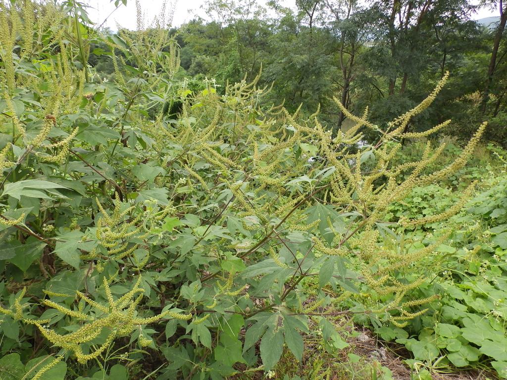 花粉症の季節、ブタクサの花盛り なぜか症状が今年は軽い