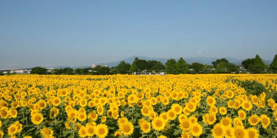 神奈川県 座間市ひまわり畑