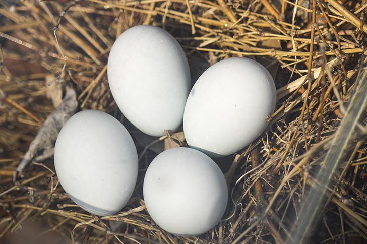白い卵のほうをよく見る理由