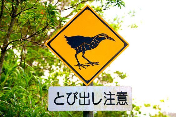 沖縄の道路ではヤンバルクイナに注意