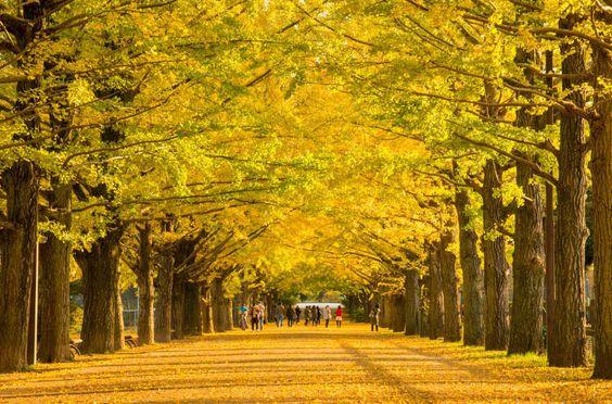 東京の昭和記念公園の銀杏並木はおすすめ