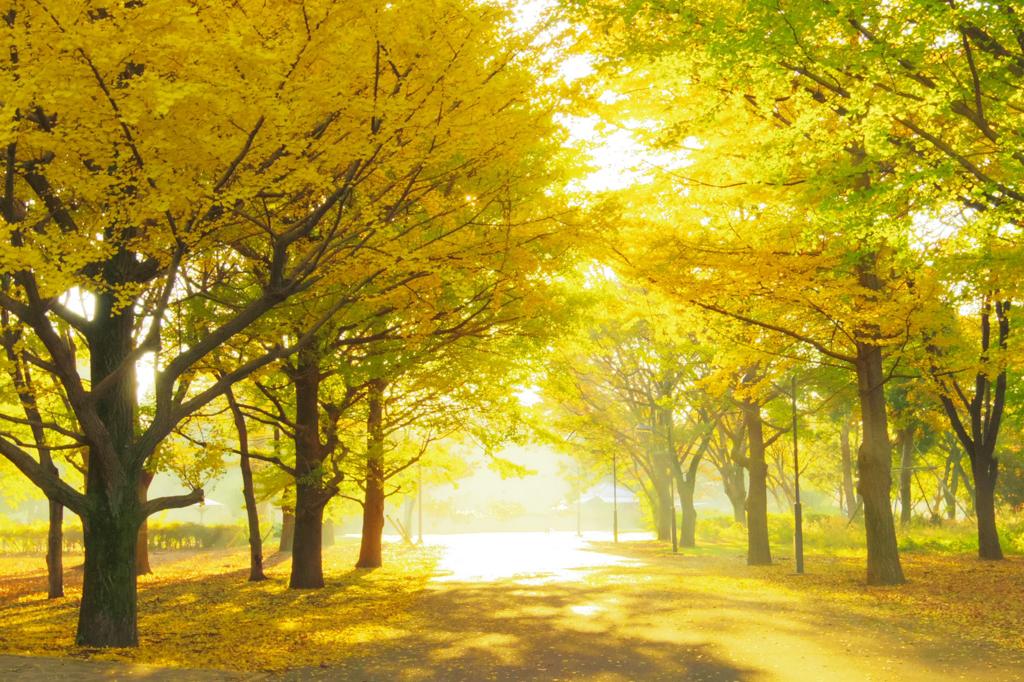 東京の小金井公園の銀杏並木はおすすめ