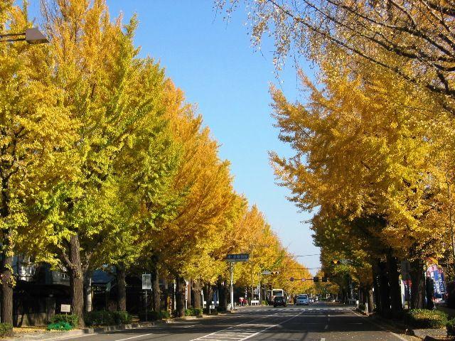 東京の甲州街道のイチョウ並木はおすすめ