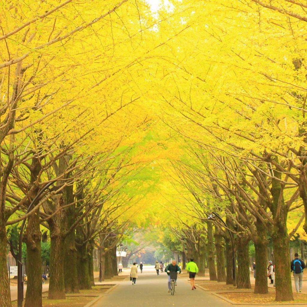 東京の光が丘公園のいちょう並木はおすすめ