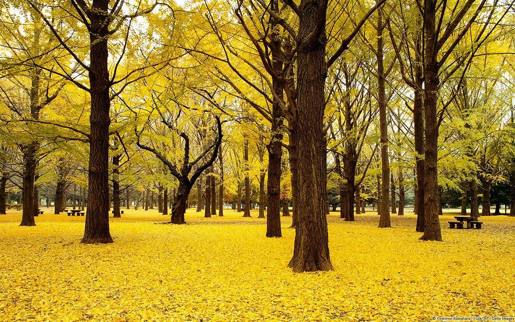 東京の代々木公園の銀杏並木はおすすめ