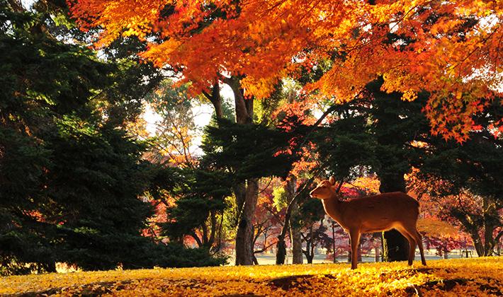秋は紅葉の奈良公園がおすすめ