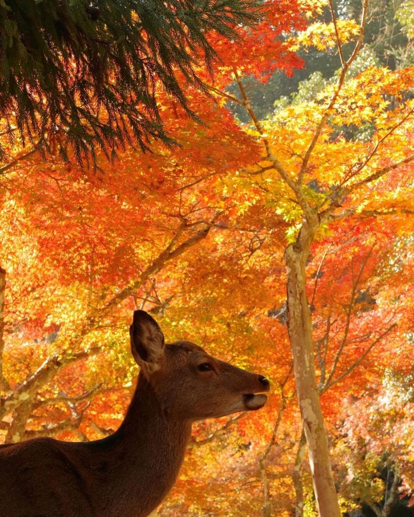 秋の宮島の紅葉谷公園は赤の絶景