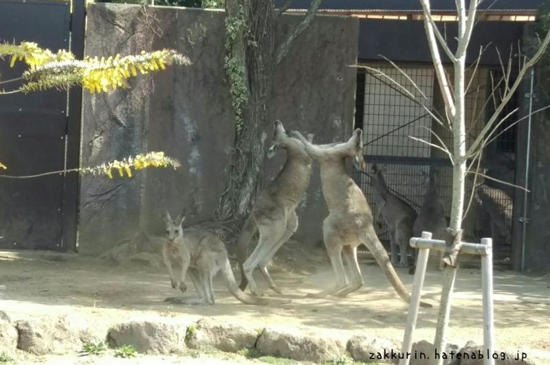 金沢動物園カンガルーの喧嘩